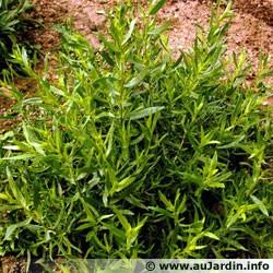 plante aromatique-estragon-artemisia-dracunculus-