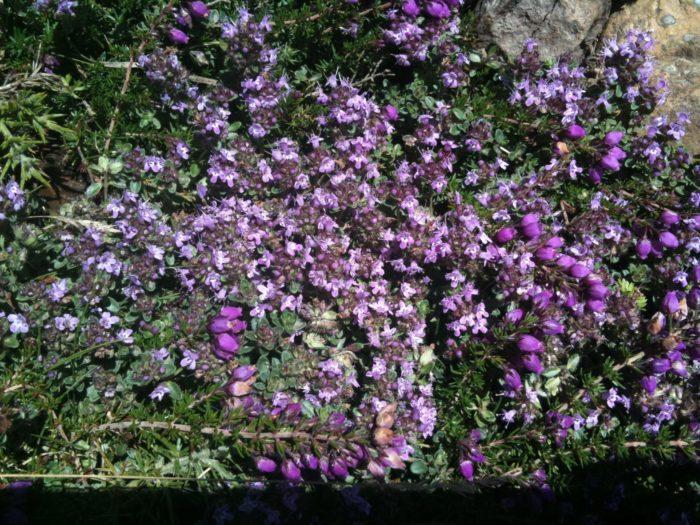 SERPOLET.Thymus serpyllum