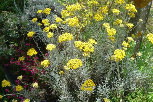 HELICHRYSUM italicum ssp. 'serotinum'