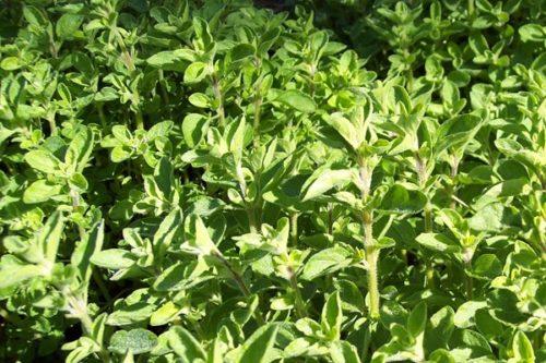 ORIGAN.Origanum vulgare