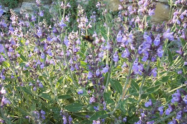SAUGE Salvia officinalis