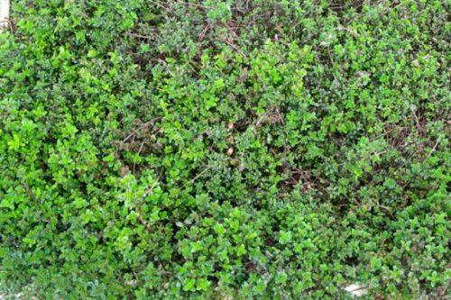 SERPOLET Thymus serpyllum
