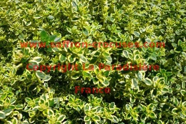 THYM CITRON Thymus x citriodorus