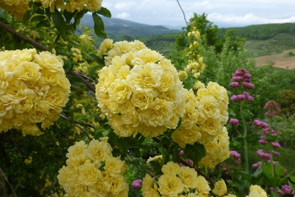 BANKSAE 'Lutea' jaune
