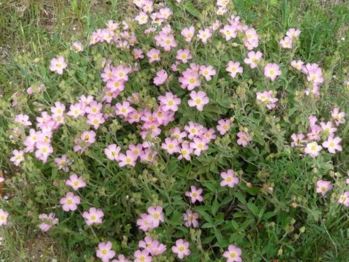CISTUS 'Grayswood Pink'