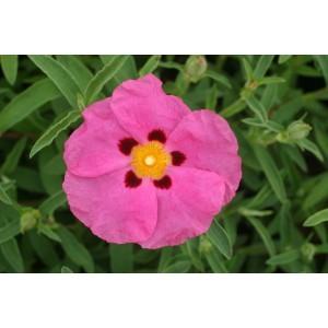 Cistus purpureus