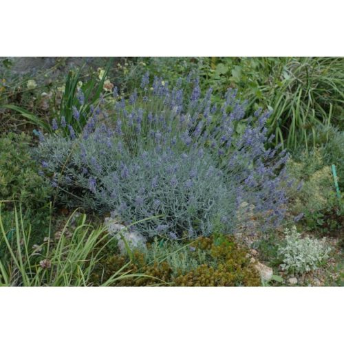 Lavandula chaytorae Richard Gray
