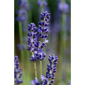 Lavandula 'London blue'