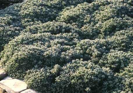 Tanacetum densun subsp. amanii