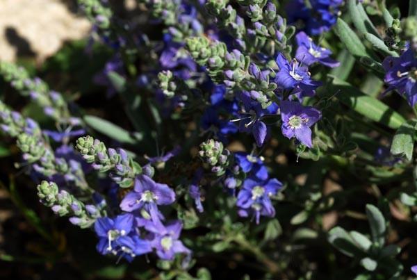 Veronica polifolia