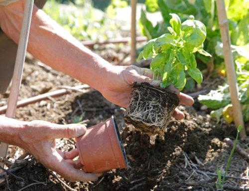 Le semis de Basilics
