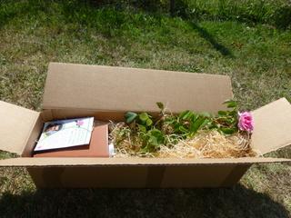 embalage rosiers