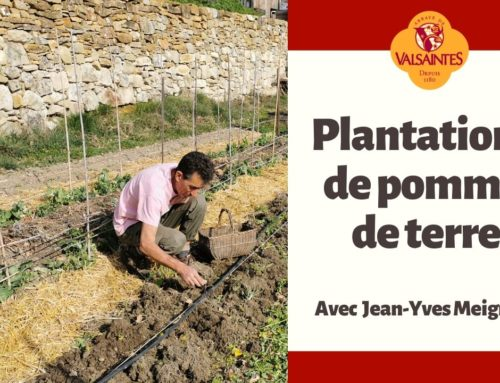 Plantations de pommes de terre sous paillis
