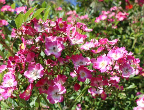 La floraison continue au Jardin de l'abbaye de Valsaintes