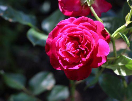 Retour en images sur l'Abbaye en Roses 2020
