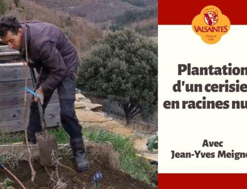 Vidéo : plantation d'un cerisier en racines nues
