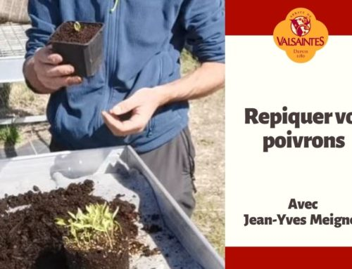 Vidéo : Repiquer vos poivrons
