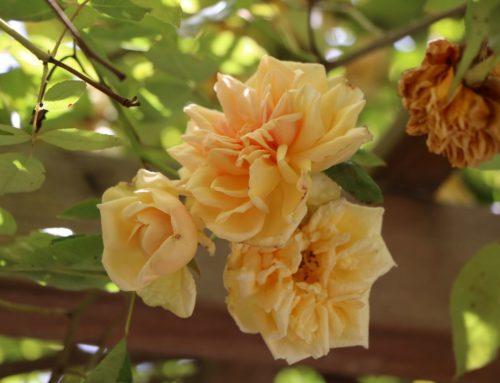 Retour en images sur l'Abbaye en Roses 2021